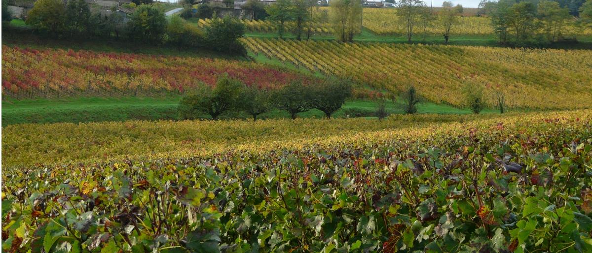Permalien à: Le vignoble après les vendanges