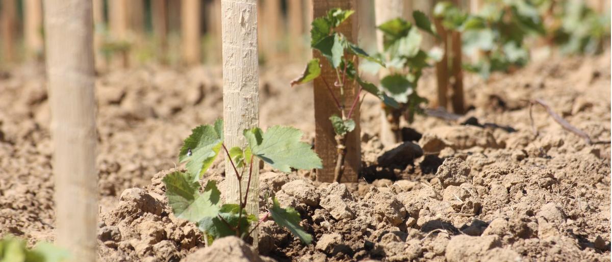 Permalien à: Jeunes pieds de vigne