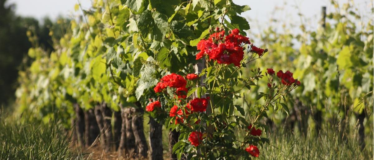 Permalien à: Les vignes et les roses