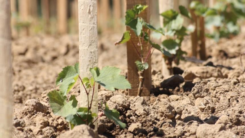 les jeunes plants de vigne