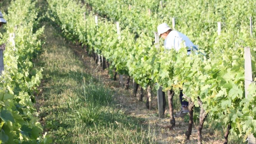 L'épamprage manuel : la travail des vignerons et vigneronnes