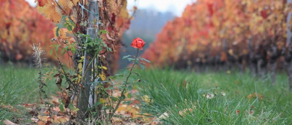l'automne, les feuilles mortes et les roses