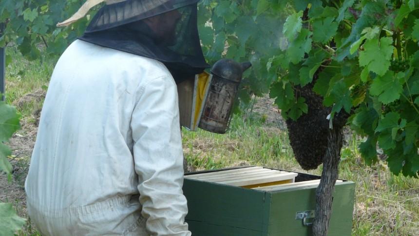 Un essaim d'abeille sur un cep de vigne